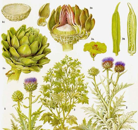 Globe Artichoke Cardoon Okra Vegetable Plant Flowers Food Chart Botanical Lithograph Illustration For Your Vintage Kitchen 165 via Etsy