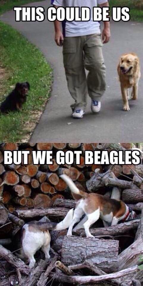 Walking a beagle ;-P       This is so true, Gracie wants to smell and explore EVERYTHING. ----- Also, click on the image to check out our exclusive Beagles t-shirt today! All sizes available in different colors. It's only $16.94 & available for a limited time on Amazon.com