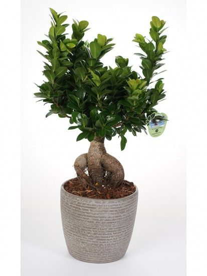 17 best ideas about bonsai ficus on pinterest bonsai - Ficus microcarpa cuidados ...