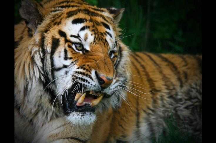 Tigre (Panthera tigris)  Encontrados em grande parte da Ásia, os tigres são os maiores felinos do mundo. Habitavam lugares tão diversificados (florestas tropicais, pântanos e savanas) que acabaram evoluindo em populações regionais com padrões e tamanhos distintos, a ponto de serem classificadas em subespécies diferentes, incluindo o tigre-siberiano, Panthera tigris altaica (foto). Hoje, a maioria está extinta.