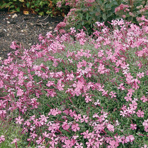 1000 ideas about vivaces couvre sol on pinterest for Plantes vivaces couvre sol