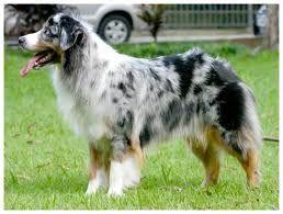 Google Image Result for http://cdn.pedigreedatabase.com/dogbreeds/australian_shepherd.jpg