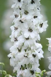 Delphinium hybrida, Benary's Pacific Percival, Perennial | Benary