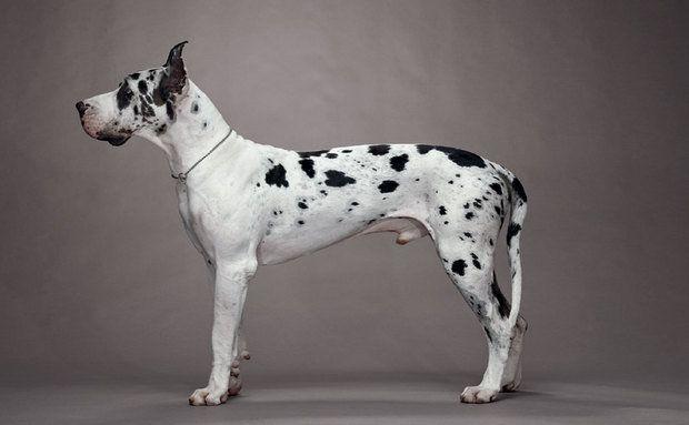 Cachorros:Cão Dinamarquês