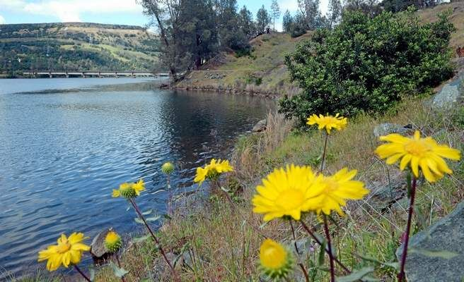 Flowers bloom this week along the banks of the Feather River above the Fish Barrier Dam in Oroville. Water districts relying on water from the river were notified Wednesday their supply would be cut by 50 percent. (Bill Husa — Mercury-Register)