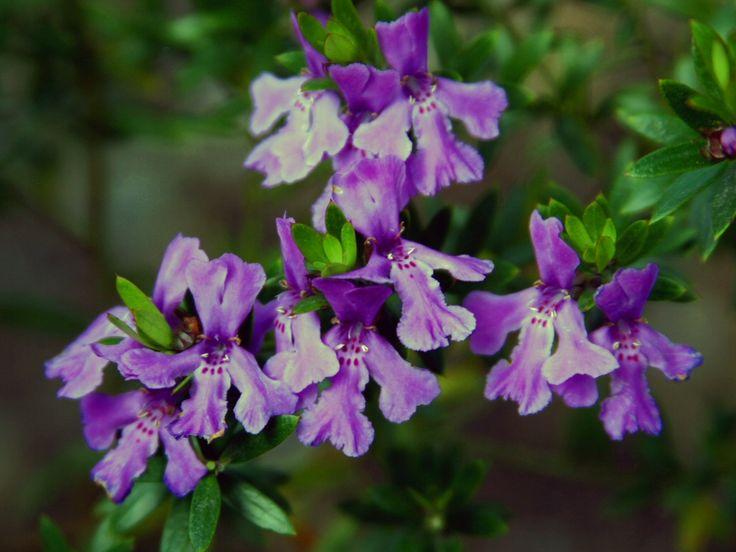 Image result for westringia deep purple