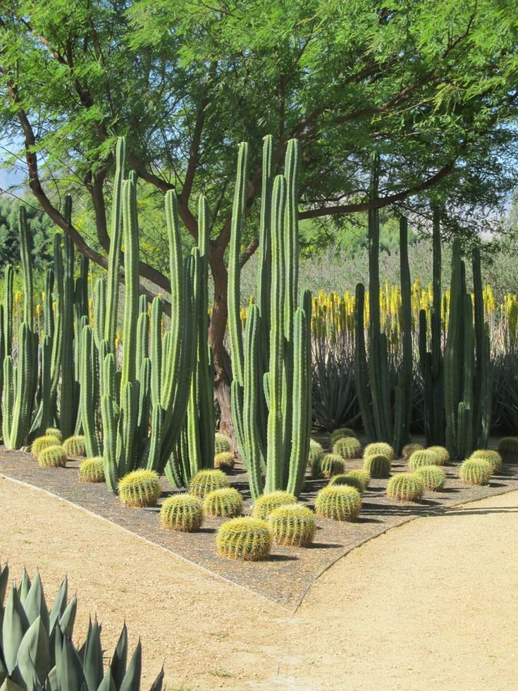 Fencepost Cactus Surrounded By Golden Barrels Notice The