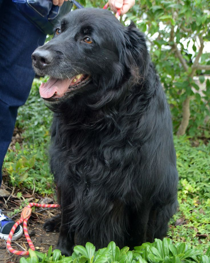 Golden labrador dog for adoption in san diego ca adn
