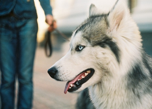 Best Husky Images On Pinterest Cute Puppies Dogs And Huskies - Guy quits his job to go on epic adventures with his husky