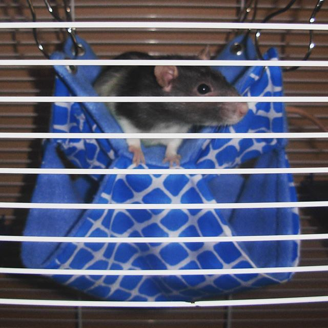 Little Abby happy on her new Double-Hammock! Thank you for the picture, send us yours to get your pet featured with our products  #critter #montreal #instarat #rodent #petrat #petbed #tube #mouse #mice #hamster #pouch #hammock #rats #rattiegram #ratties #rattie #gerbil #chinchilla #etsyshop #etsyseller #degu #chinchilla #guineapig #ratstagram #ratcommunity #hammock #ferrets #ratsofinstagram #cage #ratsofig #handmade #handmadewithlove