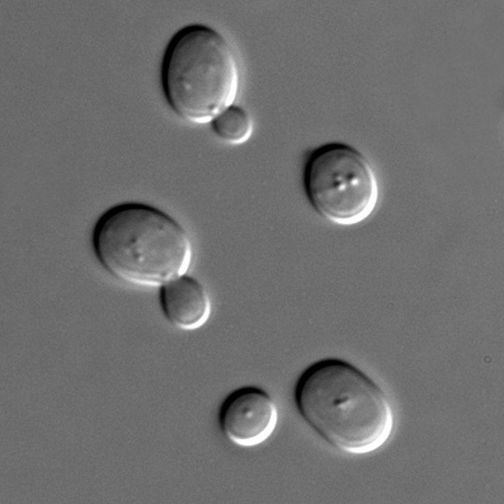 Proteína isolada da levedura do pão mostra potencial contra células de leucemia