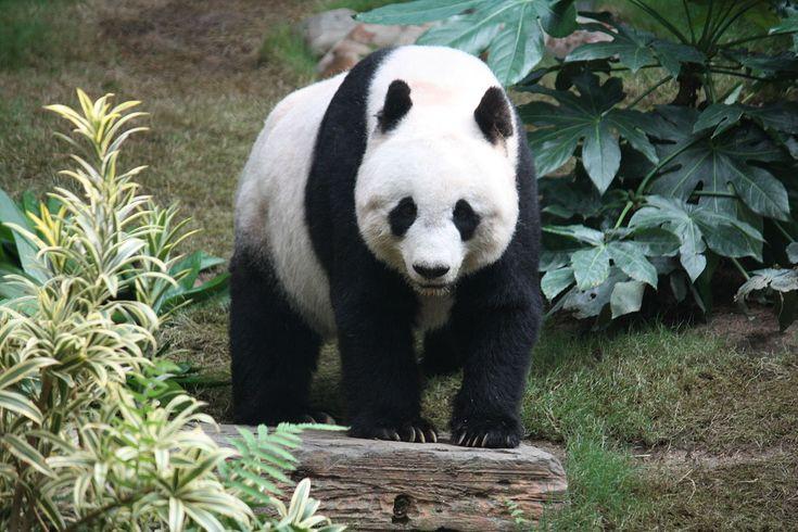 Giant panda - Wikipedia