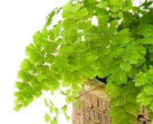 maidenhair fern, types of ferns, indoor ferns and their care.