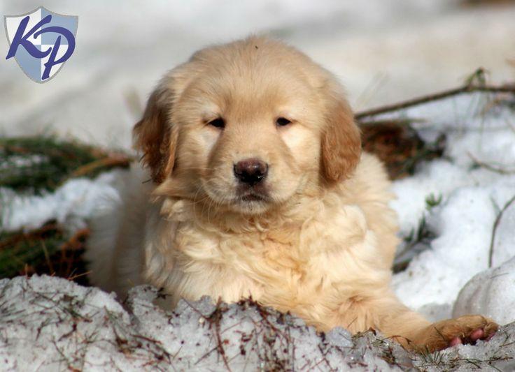 Ajax – Golden Retriever Puppy www.keystonepuppies.com  #keystonepuppies  #goldenretriever