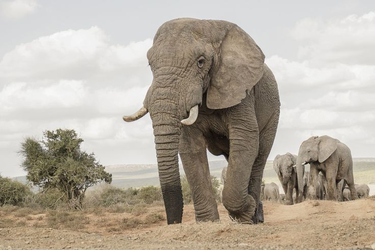 The Musth Male by Michael Price