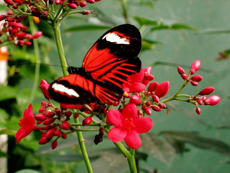 1000+ images about Beautifull Red Butterfly on Pinterest ...