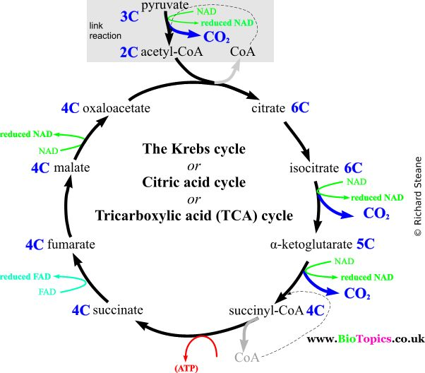 citric acid cycle and photosynthesis The key difference between krebs and calvin cycle is that krebs cycle is a part of aerobic respiration process which produces atp while calvin cycle is a part of photosynthesis which produces foods by consuming atp krebs cycle occurs in the matrix of mitochondria calvin cycle occurs in the stroma of chloroplasts.