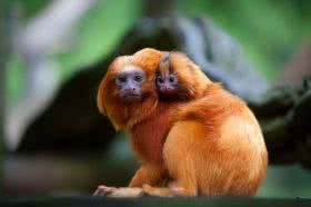 Golden Lion Tamarin - Its habitat is the Atlantic Forest. The golden lion tamarin has suffered from deforestation and animal trafficking for decades, resulting in almost complete elimination of the species. Today it is restricted to the state of Rio de Janeiro.  Currently, due to the projects of the conservation units where it is, the situation tends to improve. (Species in danger)