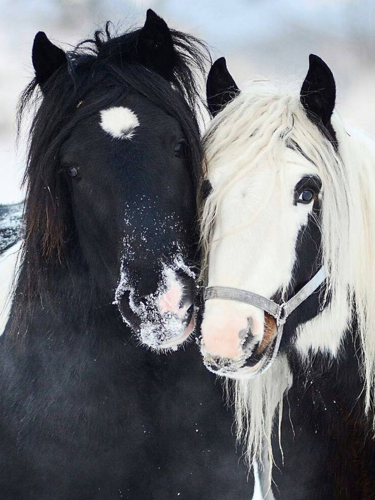 Pair of black and white horses with snow on their cute noses.