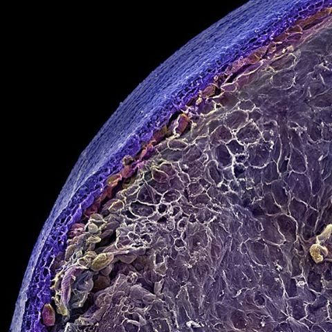 Elektron mikroskop altında yaban mersini görüntüsü #gurmerehberi #alien…