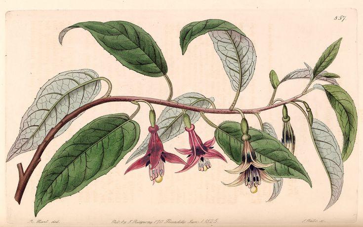 Tree Fuchsia, New Zealand Fuchsia. Fuchsia excorticata. Largest of all fuschias, plants grow to 50 feet tall. Produces small, dark sweet fruit, a favorite food of the Maori. Botanical Register, vol. 10-  (1824) [M. Hart] | by Swallowtail Garden Seeds