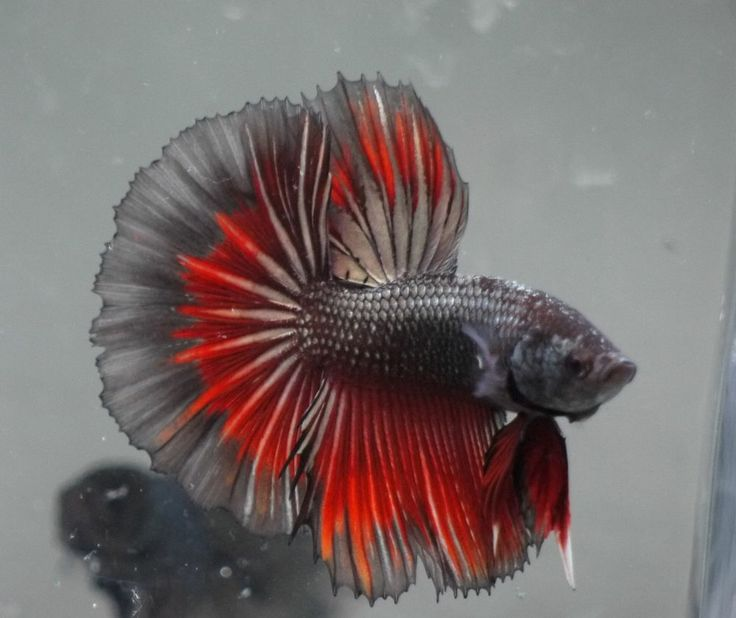 Dark red betta fish - photo#36
