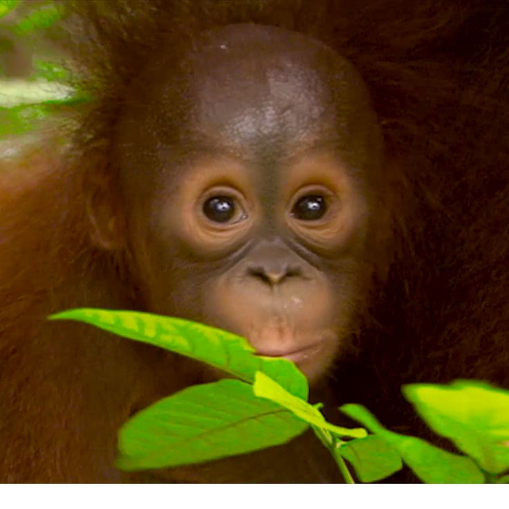 This little baby orangutan is now under the care of the Orangutan Foundation International Care Centre in in Kalimantan, Borneo. Another little star in our TVC. www.nuttelex.com.au