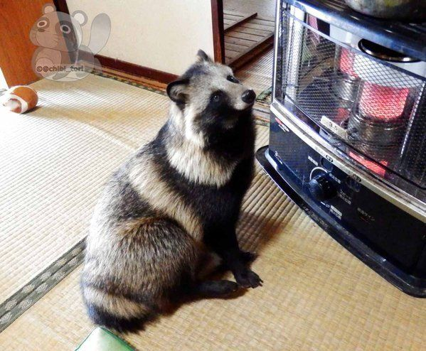 Meet Tanu, the Japanese Raccoon Dog Taking the Internet by Storm - http://www.odditycentral.com/animals/meet-tanu-the-japanese-raccoon-dog-taking-the-internet-by-storm.html