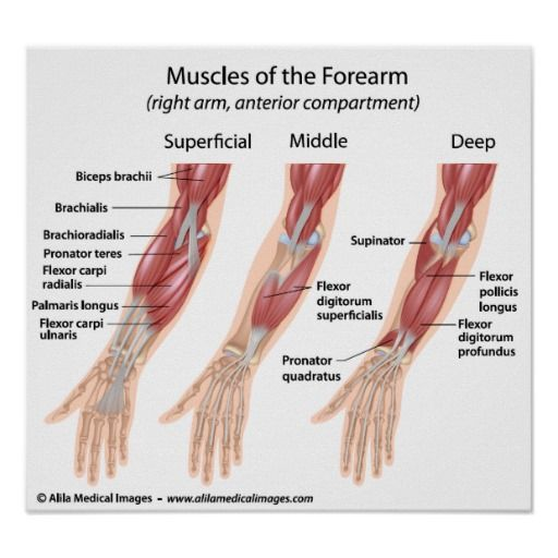 flexor+muscles+of+the+forearm+models | anterior muscle compartment of the forearm right arm three planes ...