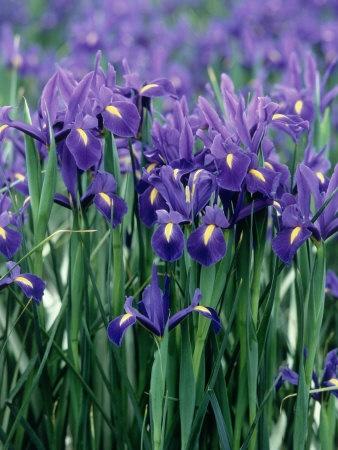"Field of Purple Dutch Iris.  ""I think it pisses God off when you walk by the color purple in a field and don't notice it.""  The Color Purple, by Alice Walker"