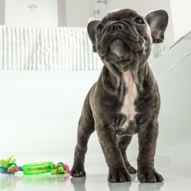 """French Bulldog Puppy - Frenchie """"Izzie"""""""