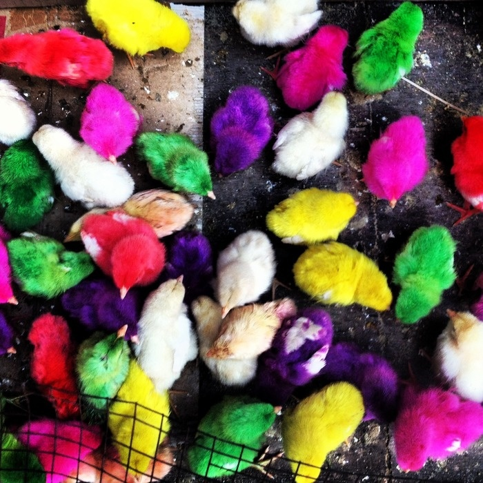 Chicks sold at the Bird Market. Photo by Electra Gilies.
