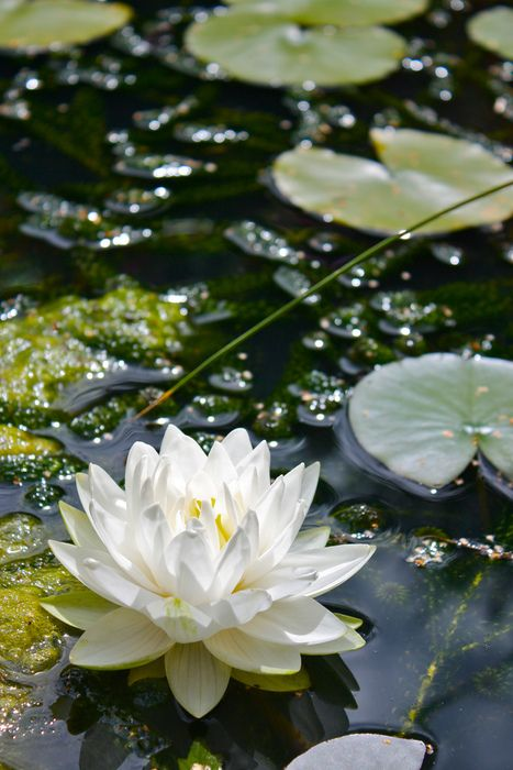 Pretty White Lotus Bloom - Pond Water Lotus - Water Garden Flowers & Plants