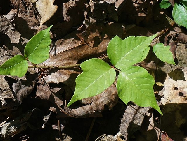 Make sure you save this, you will wish you had if you come in contact with Poison Ivy this Summer!