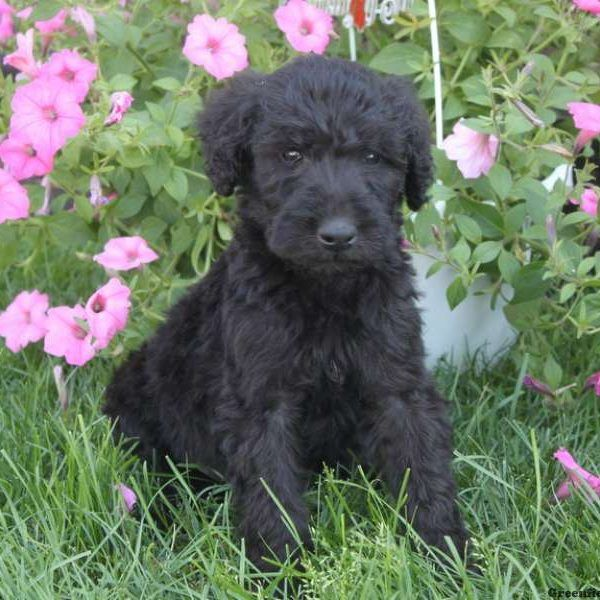 View Explore All Dog Breeds Greenfield Puppies Puppies For Sale Greenfield Puppies Poodle Puppy
