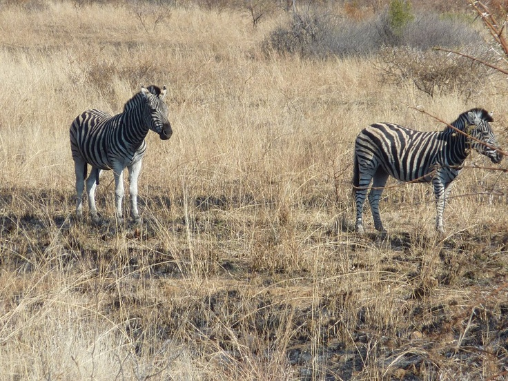 Zebra - Pilanesberg