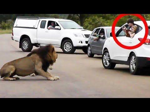 شاهد ماذا فعل الأسد عندما فتح باب السيارة لحظات تم تصويرها بالكاميرا لم يصدقها احد سبحان الله Youtube Wild Animal World Animals Animals Wild