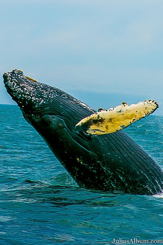 Whale breaching in Brier Island in the Bay of Fundy in Digby County, Nova Scotia, Canada