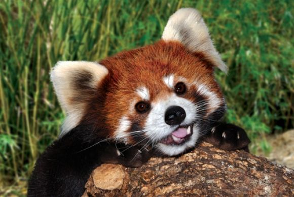 So cute and playful! The red panda is not a bear (like the white-and-black giant panda) but closely related to raccoons and skunks. Surprisingly though, their favourite diet is bamboo leaves and shoots. Sadly, the red panda is endangered, like so many other species.