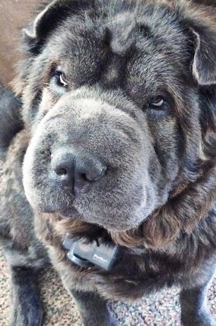 This silver-coated boy is one adorable dog/bear.