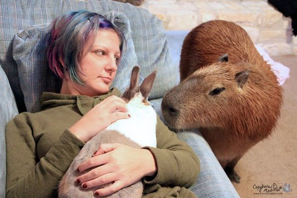 Capybara Madness! The article doesn't mention the bunny, but how cute is it that the capybara is stopping by to say hello.