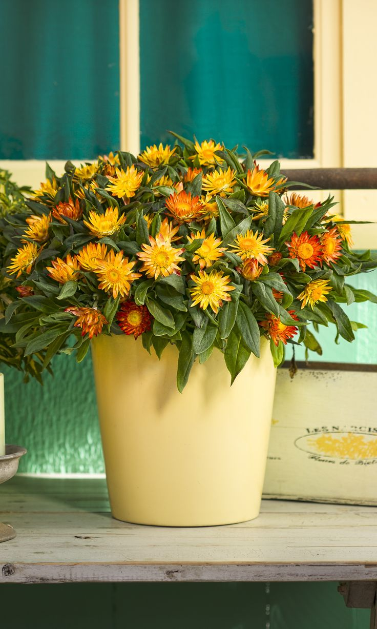 Sundaze Flame Strawflower Is Extremely Heat And Drought Tolerant, And  Incredibly Easy Plant For First Time Gardeners.