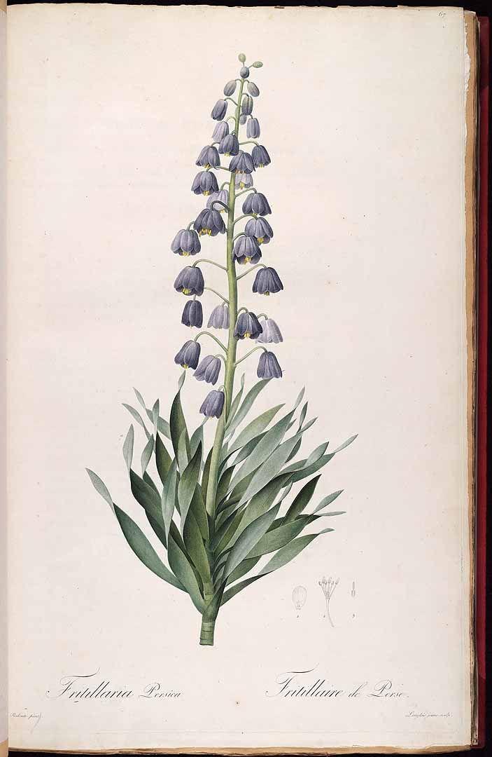 Fritillaria persica L. / Redouté, P.J., Les Liliacées, vol. 2: t. 67 (1805-1816) [P.J. Redouté]