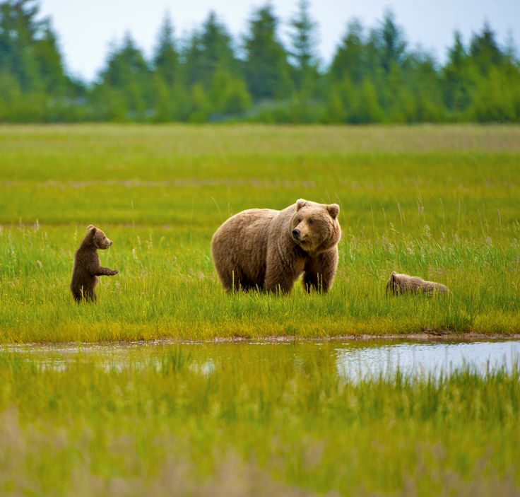 Photographer Pernille Westh | A mum bear and her cubs photographed in Alaska · Get my 7 FREE basic photography tips - you need to know! http://pw5383.wixsite.com/free-photo-tips