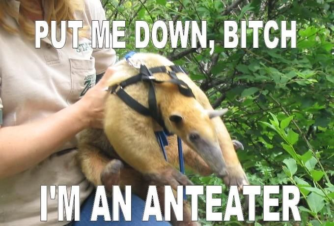 e188cdfae4e123aa562b7575dce67ef8 know your meme galleries i'm an anteater!!! image gallery,Anteater Meme Generator