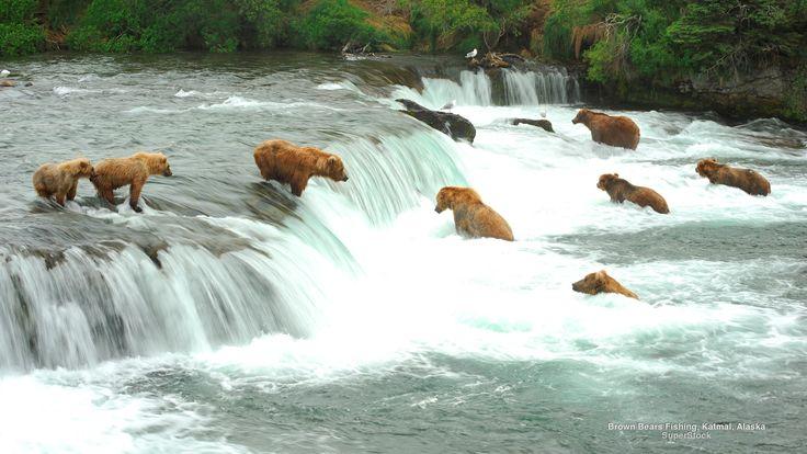 Brown Bears Fishing, Katmal, Alaska