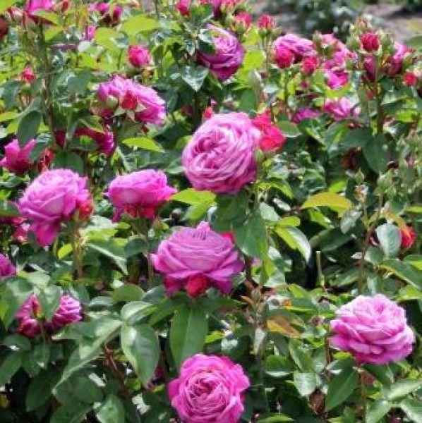 Heidi Klum® Rose   Patio-/Zwergrosen   Unser Sortiment   Rosen Tantau