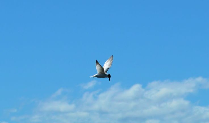 little tern hovers blue sky