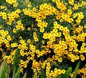 Mexican Marigold Tagetes Lemmonii Small Rounded Shrub With Leafs That Give Off Gold Flowersyellow Flowersdesert