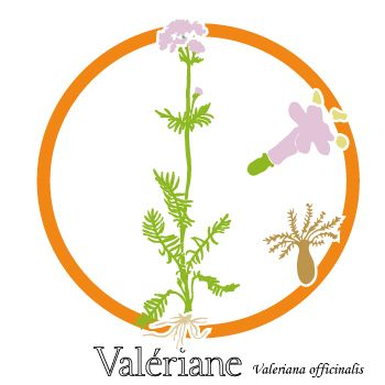 La valériane pour aider à gérer le stress. Plante et fleur.